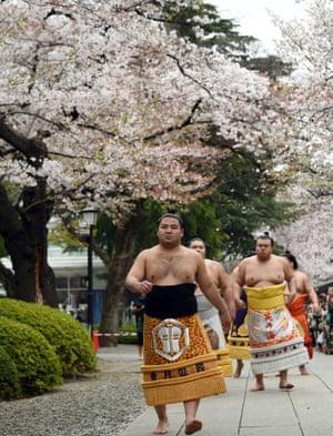 Sumo wrestlers walk under cherry blossoms.