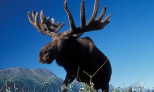 Minnesota has lost more than half its moose population since 2006.