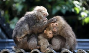 Stump-tailed macaques are seen on a rooftop at Huangshan, Anhui province, China.