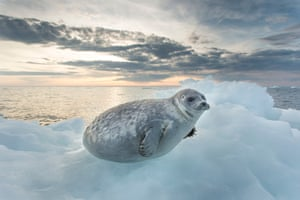 27 Jul 2013, Canada --- Canada, Nunavut Territory, Ringed Seal Pup (Phoca hispida) resting on melting iceberg at dusk along Roes Welcome Sound just south of Arctic Circle