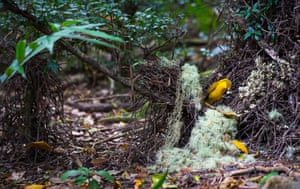 Male Golden Bowerbird (Prionodura newtoniana) at his elaborately constructed display courtI