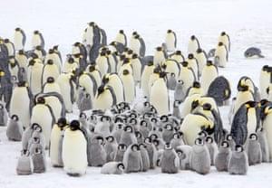 Emperor penguin colony in a snow storm, October, Snow Hill Island, Weddell Sea, Antarctica.