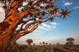 13 May 2012, Keetmanshoop, Namibia --- Namibia, Karas, Keetmanshoop, Quiver Tree Forest (Aloe dichotoma)