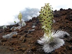 29 May 2009, Haleakala National Park, Maui, Hawaii, USA --- Silversword plants line the edge of Haleakala's volcanic crater.