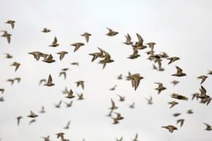 BK58E4 Flock of golden plover, Pluvialis apricaria Reeth, Yorkshire Dales, UK