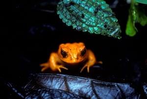 BWDAPG Golden Toad Bufo periglenes in Monteverde Cloud Forest Reserve Puntarenas Province Costa Rica