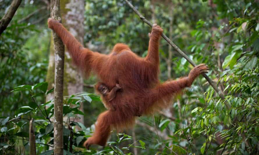 Sumatran orangutan with a baby in Leuser National Park, Aceh