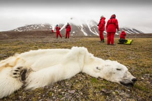 A male Polar Bear (Ursus maritimus) starved to death as a consequence of climate change. This male Polar Bear was last tracked by the Norwegian Polar Institute in April 2013 in southern Svalbard. The bear was found on an Arctic cruise with world Polar Bear scientist, Ian Stirling.