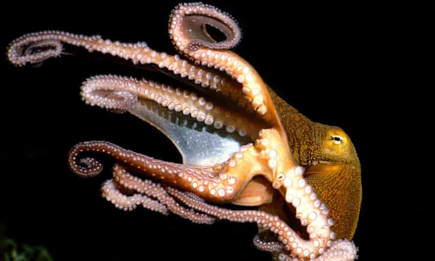 Octopus swimming eight tentacles with suckers visible