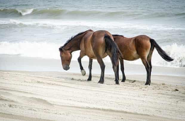 Wild horses on the Beach north of Corolla.
