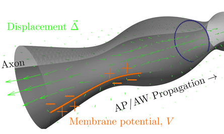The nervous impulse (action potential, AP) and accompanying action wave (AW) together make up an electromechanical pulse that travels along the axon. From El Hady & Machta (2015).