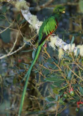 A resplendent male quetzal in Costa Rica.