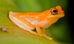 Golden Toad on a leaf, Costa Rica.