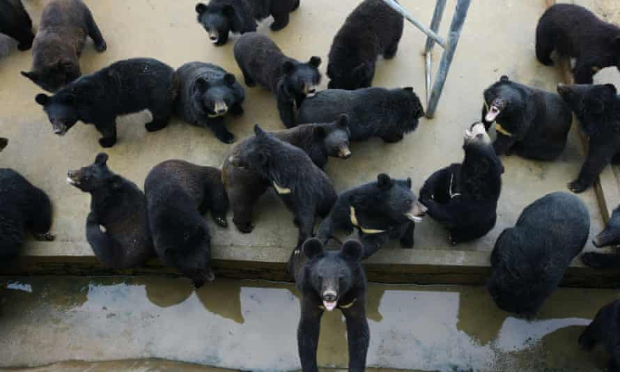 Bears are seen at a bear farm owned by Guizhentang Pharmaceutical in Huian, south Chinas Fujian province, 22 February 2012. Guizhentang Pharmaceutical, one of Chinas largest bear bile producers, opened the doors of its bear farm for the first time to journalists to quell criticism over its practice of draining bile from hundreds of captive bears.