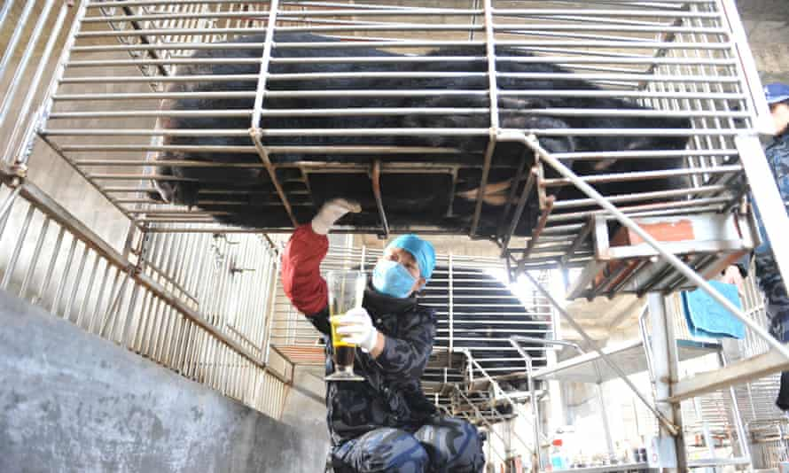 A worker extracts bile from a bear at a bear farm owned by Guizhentang Pharmaceutical in Huian, southeast China's Fujian province, 22 February 2012.