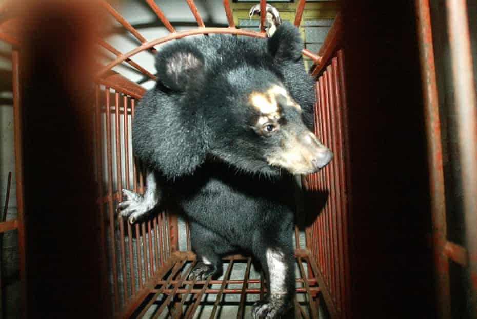 A bear watches in a very small cage at a bear farm in Wenzhou, east China's Zhejiang Province, 24 November 2003.