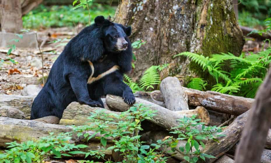 An Asiatic Black Bear in the Tat Kuang Si rescue centre near Luang Prabang