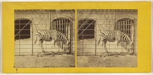The Zebra, Burchell's, or Dauw (Asinus Burchellii), about 1865, Frank Haes, albumen silver print