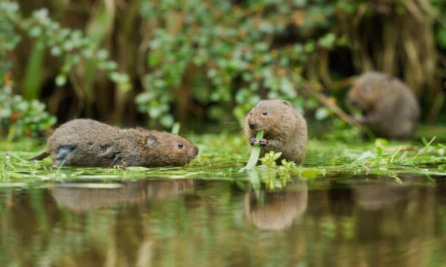 Water voles (Arvicola terrestris), feeding on watercress, in Kent, England.