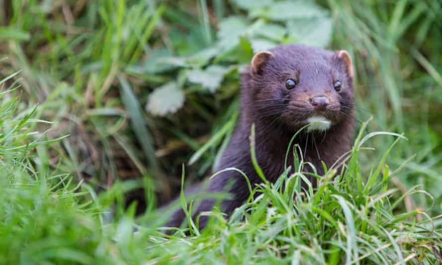 Invasive American mink looking out from grass