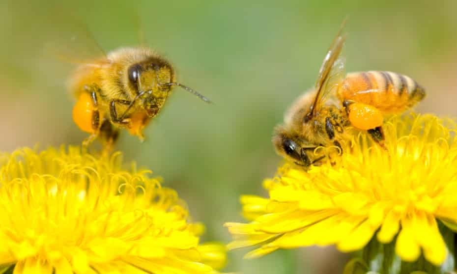 Two Bees and dandelion flower.