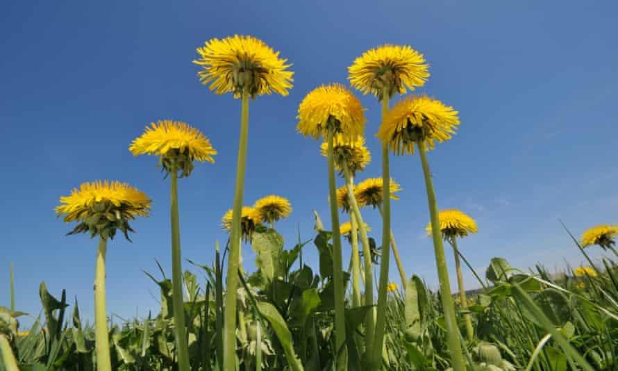 Dandelions against a blue sky
