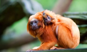 A golden lion tamarin with baby