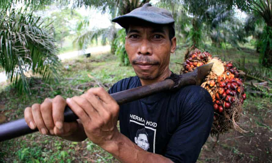 A plantation worker in Sumatra, Indonesia, harvesting oil palm fruit.