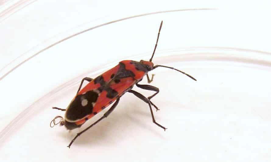 The seed bug Lygaeus simulans