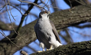 Goshawks are arboreal, and Berlin is one of Europe's most wooded cities.