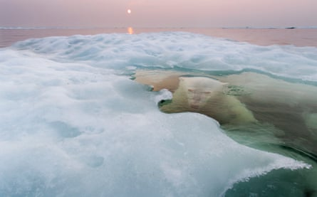 Canada, Manitoba, Churchill, Polar Bear (Ursus maritimus) hides while submerged at edge of melting ice floe on summer evening.