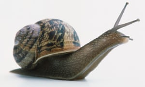 A snail, possibly an Edible Snail, with head and antennae extended.