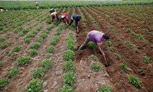 Rural workers in a potato field in Villapinzon, Colombia.