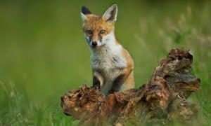 Fox Cub playing in evening light