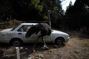 An escaped ostrich walks past a car within the exclusion zone around Fukushima. 'While ionised radiation is a fact of life for us all, for residents of some cities it's a daily source of worry'