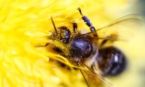 A honeybee gathers pollen from a flower.