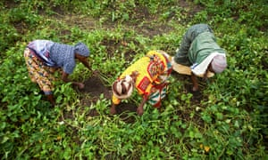 Farmers work in a sweet potato field in Tanzania