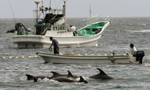 Fishermen drive bottlenose dolphins into a net during their annual hunt off Taiji.