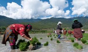 Female farmers transplanting rice shoots into rice paddies