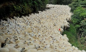 Sheep fill a country road on the way from Catlins Forest to Dunedin in New Zealand.