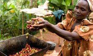 Coffee farmer harvesting crop, Uganda