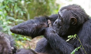 After losing his hand to a snare, Twig will never become an alpha male. Snare injuries can alter the natural social hierarchy of chimpanzees.