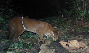 An African golden cat caught on camera trap in Kibale National Park with an obvious snare wound. Snares can also impact Kibale's wild cats by depleting the forest's prey base.