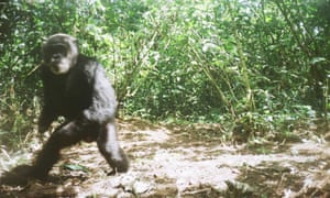 A chimp who lost both hands to snares caught on camera trap in Kibale National Park.
