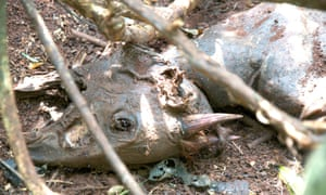 A red duiker left decomposing in a wire neck snare. Since poachers do not regularly monitor their snares, animals are left to suffocate, dehydrate, and starve to death.