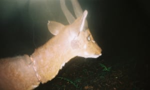 A bushbuck with a snare wound on camera trap.