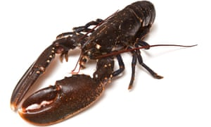 The lobster's habitat could be damaged by windfarm cable-laying, it is feared.