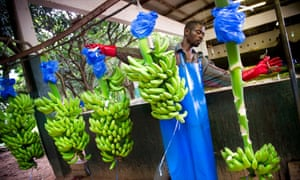The Fairtrade banana, by the Fairtrade Foundation, shortlisted for ethical product of the decade.