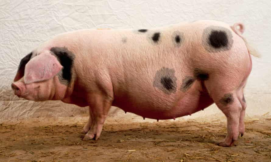 a Gloucestershire Old Spots pig.