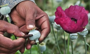 "A man lancing a poppy bulb to extract the basis for opium. Researchers have warned that using the new technology, opium poppy farms could be replaced by morphine ""breweries""."